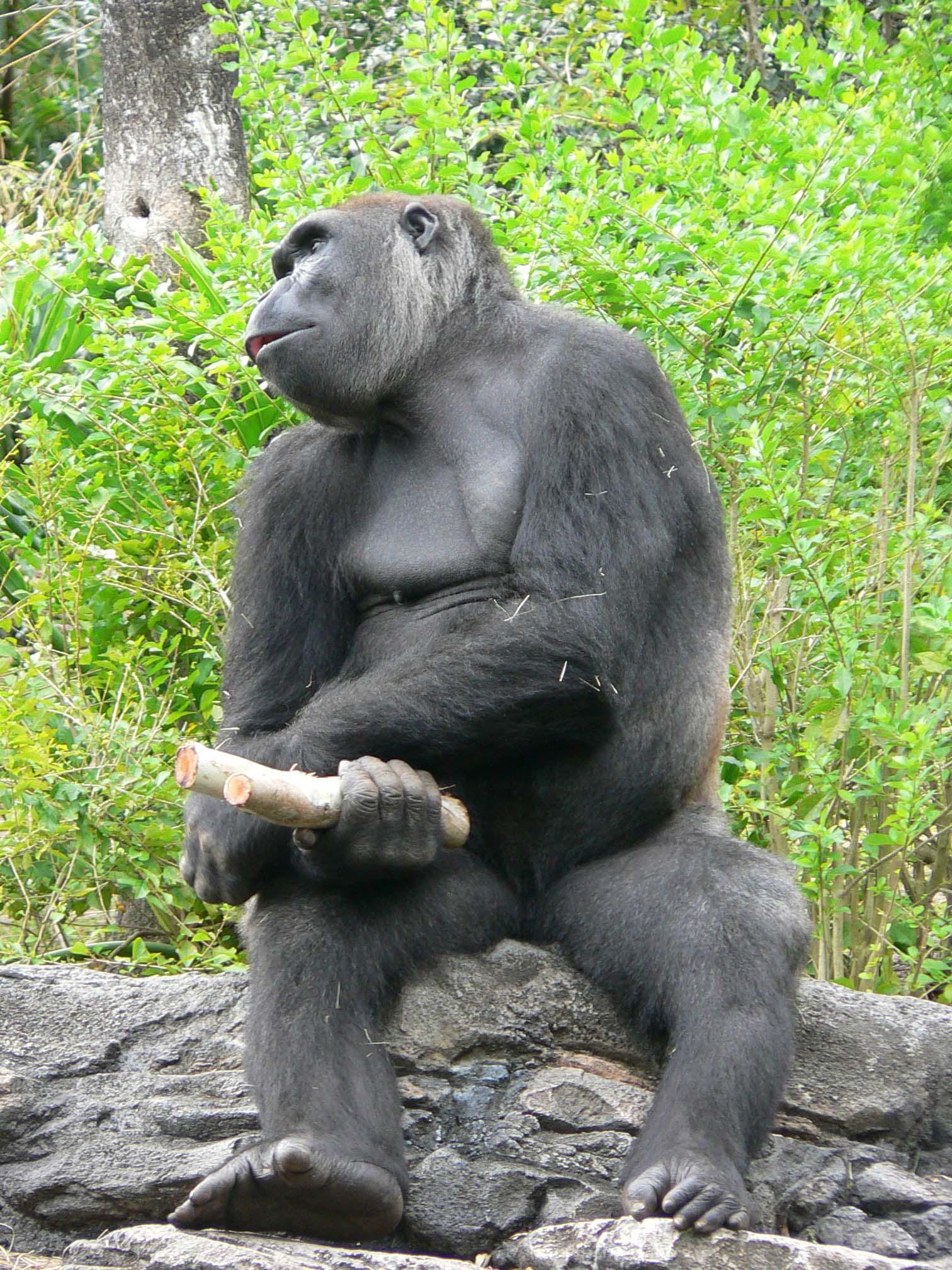 Free Ape Sex Videos gorilla big dick and girl fuck videos watch . hot porno.